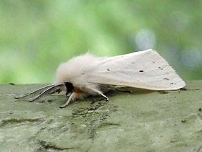Webworm moth. Photo: Wikimedia Creative Commons