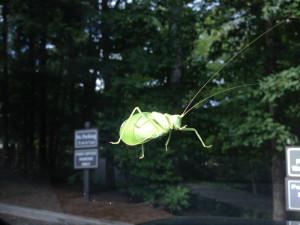 Katydid on windshield
