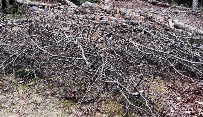 fallen scarlet oak branches