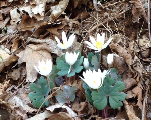 bloodroot group