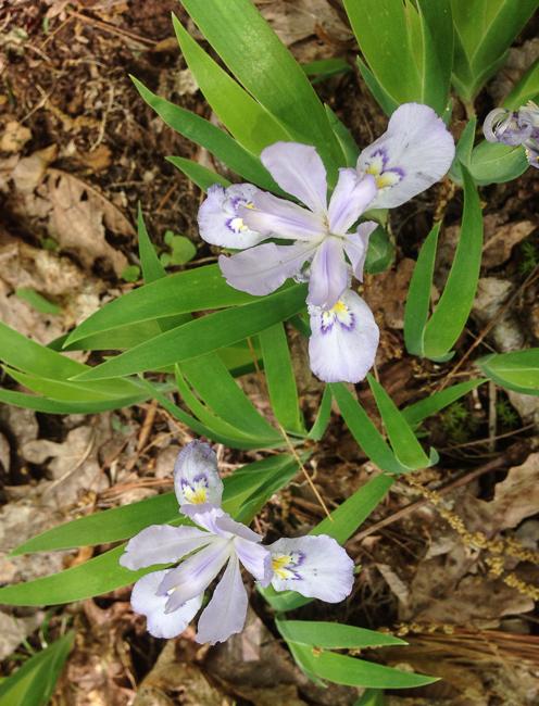 pale crested iris