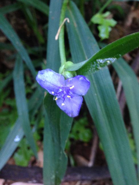 Wideleaf spiderwort (Tradescantia subaspera)