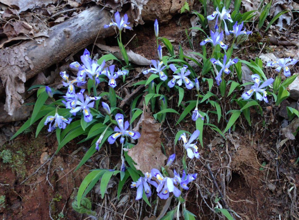iris patch