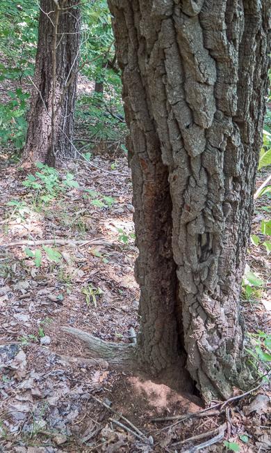sourwood 2
