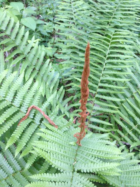 single cinnamon fern