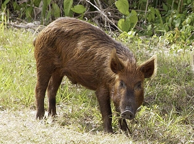 Hog drop