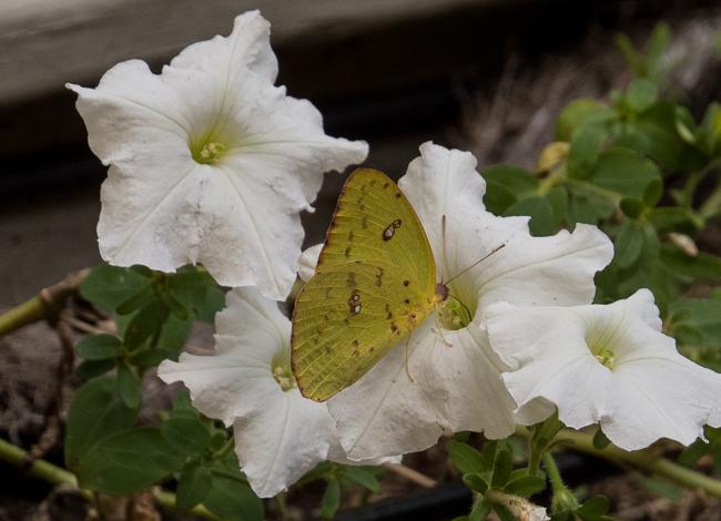 Cloudless sulphur butterfly - Phoebis sennae