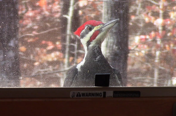 The curious woodpecker